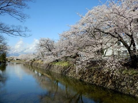 松本城桜 (75)