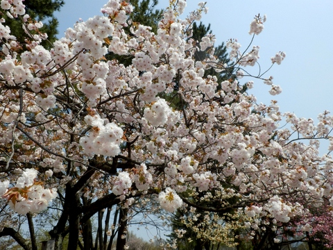 歯科大桜 (17)