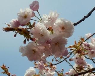 歯科大桜 (43)