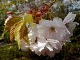 歯科大桜 (47)