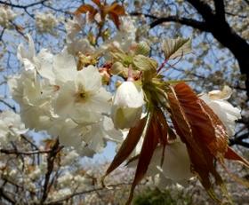 歯科大桜 (48)