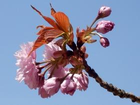 歯科大桜 (56)