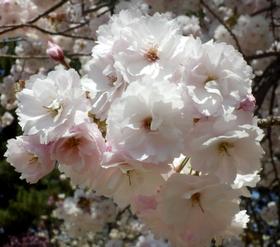 歯科大桜 (64)