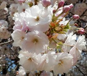 歯科大桜 (67)