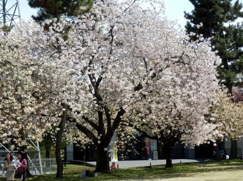 歯科大桜 (75)