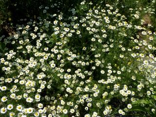 庭の花 (10)