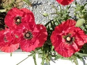 庭の花 (12)