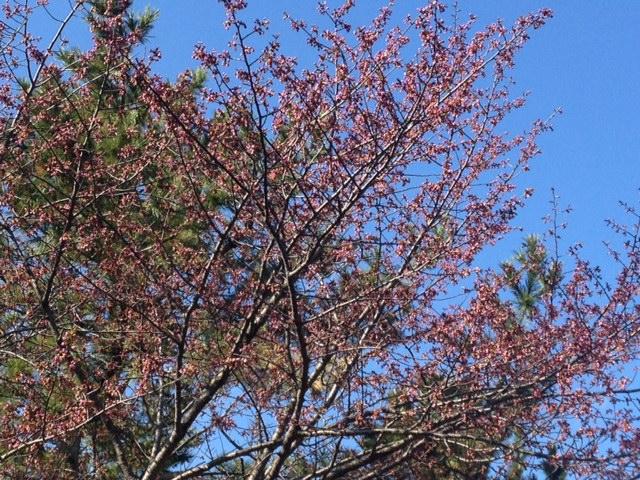 2013 桜4