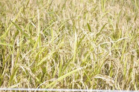稲刈り2014 その1⑫