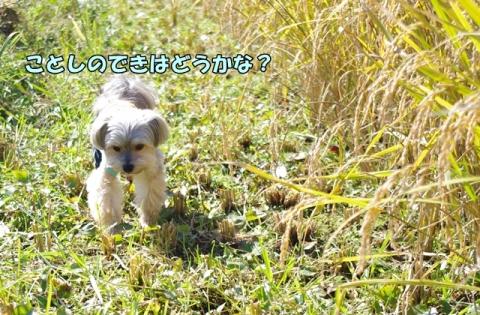 稲刈り2014 その1②