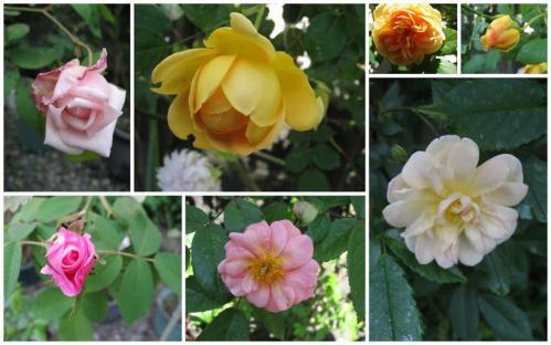 庭の薔薇 5月初旬