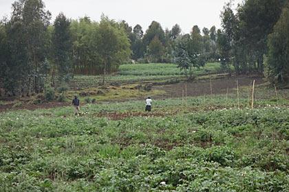 ゴリラトレッキング、途中の畑