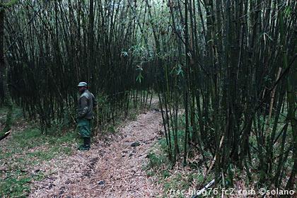 ゴリラトレッキング、竹薮の中。