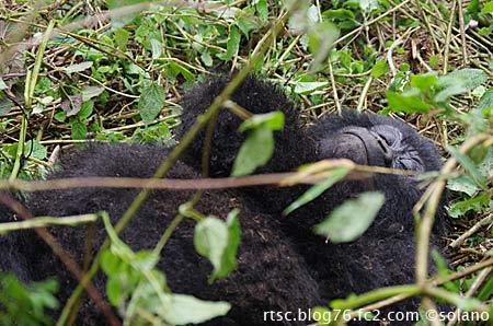 ルワンダ、寝そべるゴリラ
