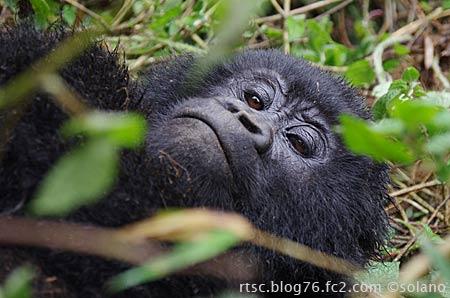 ルワンダのゴリラ、薄目でトレッカーをチラ見。
