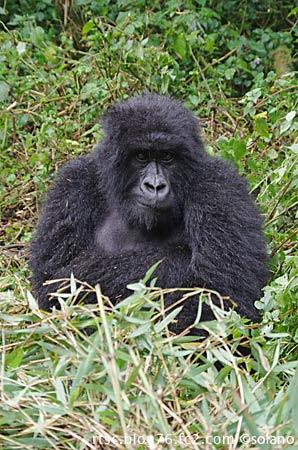 ルワンダ、目覚めて起き上がったゴリラ。
