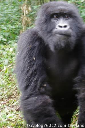 ルワンダ、トレッカーを威嚇するゴリラ