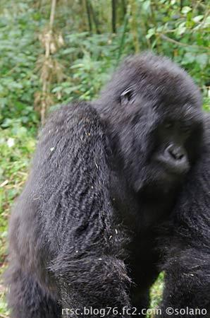 ルワンダ、威嚇したゴリラ
