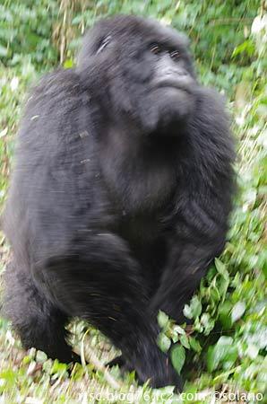ルワンダのゴリラ、トレッカーを再び威嚇