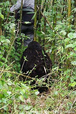 ルワンダ、トレッカーの後ろを歩く子ゴリラ