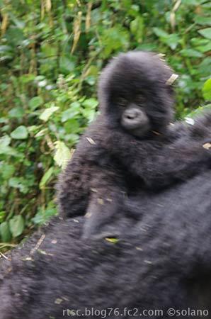 ルワンダ、赤ちゃんゴリラ