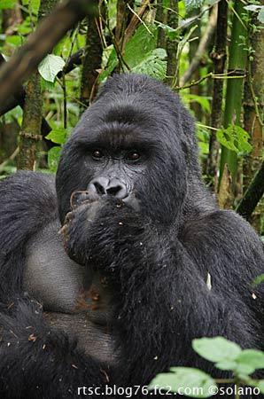 ルワンダ、草木を食べるシルバーバック