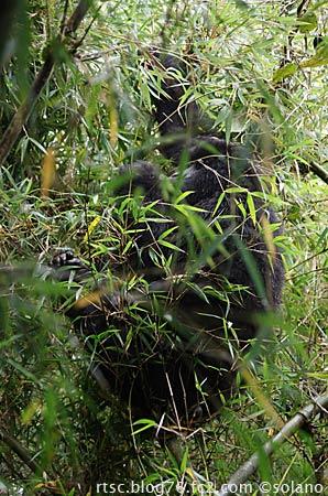 ルワンダ、竹の上に登っているゴリラ