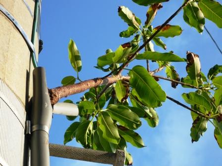 ど根性の樹:先端2