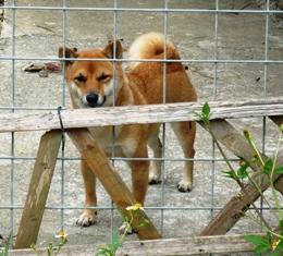 ガロパン:お隣の犬