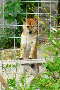 ガロパン:お隣の犬2