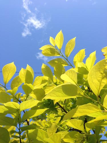 柿の葉と空