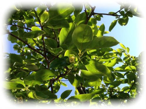 柿の花-2