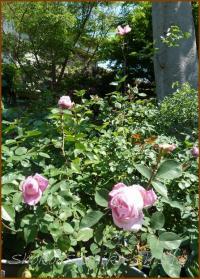 20130428 ピンク 鉢植え 薔薇