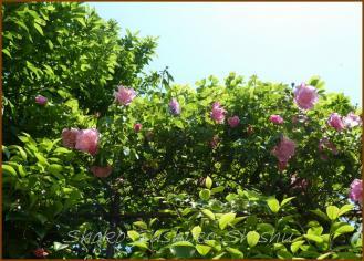 20130428 ピンク 満開 薔薇