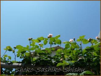 20130428 ピンク 天に 薔薇