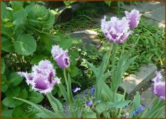 20130428 チューリップ紫陽花 薔薇