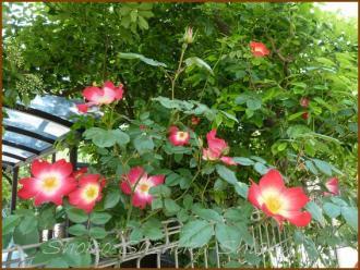 20130428 一重の赤い 薔薇