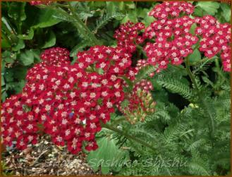 20130520 1 ご近所の花