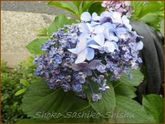20130630 巻き 青 1  紫陽花