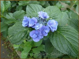 20130630 八重 青 1  紫陽花
