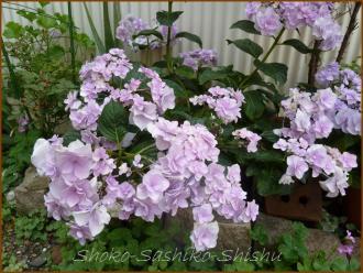 20130630 八重 青紫 2  紫陽花