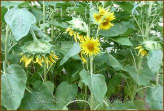 20130819 向日葵 1 夏の花