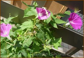 20130819 朝顔 1 夏の花
