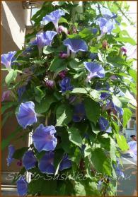 20130819 朝顔 2 夏の花