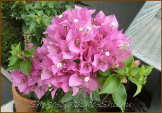 20130819 桃色 1 夏の花