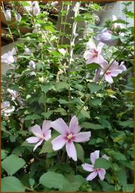 20130819 桃色 3 夏の花
