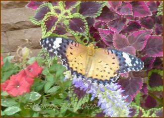 20130823 蝶 12  夏の虫