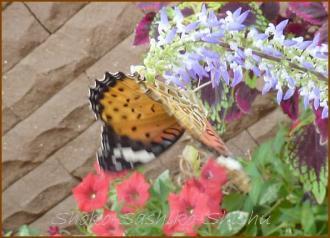 20130823 蝶 15  夏の虫