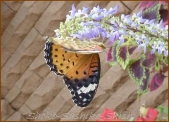 20130823 蝶 16  夏の虫