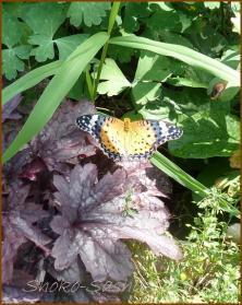20130823 蝶 21  夏の虫